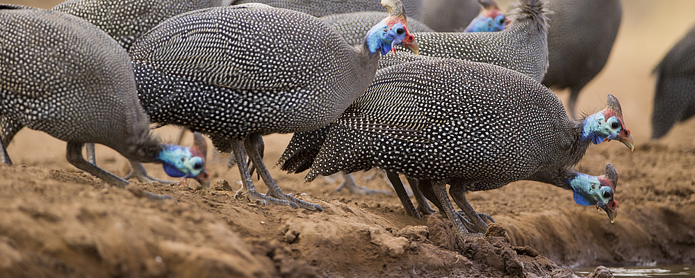Guinea Fowl Photo