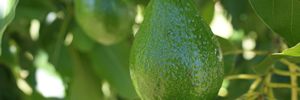 Going Africa Conferencing | Agricultural Conference Planners - Avocado